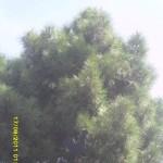 Veleta y pino
